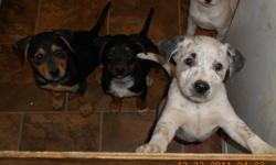 just in time for xmas. 5 weeks old now puppies will go to good homes only! $200 per blue healer cross /pupp. i have 3 girls and 2 boys.message me for more info please.. thanks call 778 470 4078