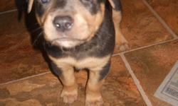 just in time for xmas. 5 weeks old now puppies will go to good homes only! $200 per rott cross /pupp. i have 3 girls and 2 boys.message me for more info please.. thanks
