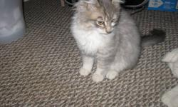 I have three adorable male kittens, free to good homes! I'd like to find them all homes before the winter. They are three months old and each have developed their own personalities. They are all great with dogs as they have been raised around one. The