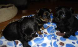 Hazel is a pure black pom-chi who was bred with a registered pure bred Yorkie. Both dogs are under 6.5 pounds and both have loving playful tempurments.   Her three little male puppies are kitchen raised, playful and very well socialized. They are crate