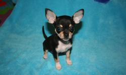 Tiny Applehead Chihuahua Puppies looking for their new home. Mom (picture 2) & Dad are both appleheads and 3.5lbs full grown. 1 male and 1 female available. Female puppy $1250.00- SOLD is black & white, and currently weighs 1.2lbs (charting to be ~3lbs