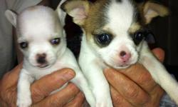 Very tiny chi puppies, almost ready to go to new homes. Pups will be vet checked and vAccinated. We have three litters. All of our dogs and puppies are raised in our home. Some of these puppies will be three lbs or less and are very tiny. We have males