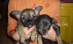 I have 1 Chihuahua Terrier for sale. She has been vet checked and dewormed. She is ready to go. Would make wonderful Christmas present =) If interested message me or call (902)660-2385                            Thanks and Merry Christmas Everyone!