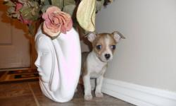 TINY LITTLE CHIHUAHUA PUPPIES READY FOR THEIR NEW HOMES. 1 BOY, 2 GIRLS LEFT...BOY IS IN FIRST PICTURE, 4 LBS MOTHER IS IN LAST PICTURE. Asking $480.PUPPIES ARE SMART, PLAYFULL & LOVE TO BE HELD.