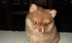 These puppies are tiny, adorable, playful and well socialized balls of fur. Two females and one male left. They are weaned and paper trained. The mother and father are both here with the pups. Full grown they will be about 5 lbs. Pictures of previous
