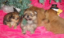 These are tiny balls of fur. The father weighs between 3 - 5 lbs and the mother weighs between 5 - 7 lbs. There are two females and two males. They are playful and are well socialized and full of personality. Mother is presently weaning them, but you may