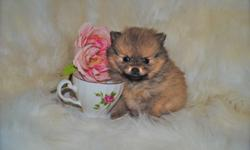 Here available for you is a little baby Purebred Pomeranian girl!!!! She is 6 weeks old. She will be Canadian Kennel Club Registered (CKC), Microchipped, Complete first vet health check-up and complete first shots, etc. And the transfer of ownership of