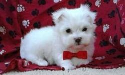 Maltese will mature to be:5-6LBS, I currently have male and female available, they were vet checked, dewormed and have all shots up-to-date, READY TO GO NOW. 647-839-6804 TINY TOY :5-6LBS-------1,000$----pure white coats TWO MALE. PIC---1, 2, 3, 4. TINY