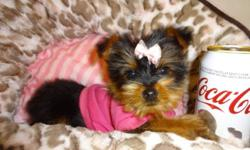 Adorable morkies male and female available, they got 1st shot and were also dewormed and checked by a vet.  They will be 5-6lbs fully grown, They are non-shedding hypoallergenic, affectionate very playful, good with kids and other pets, very loyal and