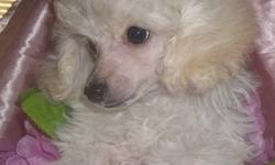 Treasure Pets (reg'd) Toy and Miniature Poodles Grand Falls-Windsor, NL (709)489-1395 We Have Available Immediately 1 white tiny toy female and 1 black male Pups Have Been Vet Checked, Microchipped, Up to date on vaccinations., Dewormed, CKC Registered