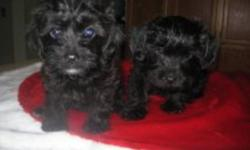 Tiny adorable Yorkie Poo pups boys and girls vet checked,first boosters,pad and crate training started ,pups come with 2 year health guarantee,puppy starter kit,pups adult weight will reach 4-6 lbs