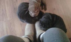 1  Dilute Chocolate female, 2  Dilute Black males.  Solid and full of wrinkles. Parents on site. Approved homes only. Puppies will not be released until at least 12 weeks old.