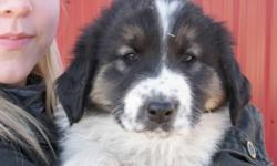 Livestock Guardian Breed from Croatia Calm, Friendly, Thinking breed that is very easy to train Love Kids and great with other animals Mother was a working dog in Croatia and was imported to be the second breeding female in North America Father is a very