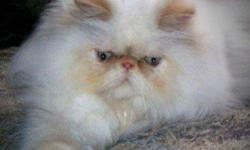 2 years old, beautiful fluffy ACFA/CFA registered spayed female Himalayan looking for a new and forever home. Best to a home on her own. Ok with dogs, and older kids. Retired from a breeding program. Was not cut out for motherhood. She's a very playful