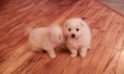 BUY FOR CHRISTMAS, PICK UP ONCE THE FESTIVITIES HAVE DIED DOWN A BIT.  One boy, one girl, Mom is small Miniature American Eskimo X, Dad is purebred Toy American Eskimo.  My babies are famous for being well traveled and well-socialized!