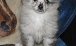 """""""Skittles"""" is a Rare blue merle female puppy, both her mom and dad are here to meet too.  Both parents are registered AKC toy pomeranians but Skittles will NOT be registered.  She is well socialized and has been vetted with her first two sets of shots"""