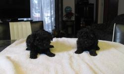 2 toy poodle puppies males 1 st shots and dewormed $375.00 call 204-822-4562 no emails please