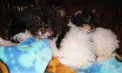 2 Females, One Male Approximately 10 weeks old ** All pups have been vet-checked and have received required vaccinations. They have also been de-wormed and have had flea & tick treatment. Toy poodles are loyal, cuddly dogs and fast learners. They have