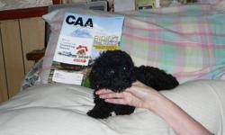 Female-1 Female Purebred Toy Poodle for Sale. She is 13 weeks and Paper Trained. Up to date on all her shots and has Phantom markings which are farely rare. Asking 300.00$, Please contact me at 1705-844-2744 Thanks Susie :D   Male-1 Male Black Purebred