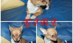 "BOXING DAY SALE!!!!ONLY TODAY $400/EACH !!!!PRICE IS FIRM!! WE HAVE 2GIRL & 2 BOY  CHIHUAHUA PUPPIES LEFT FROM 12 "" ,PLAYFULL ,HAPPY & HEALTHY  CHIHUAHUA PUPPIES . PERFECT ADDITION FOR ANY FAMILY!! PIC 1-2  IS A GIRL PIC 3-4 IS A BOY . ASKING PRICE IS"