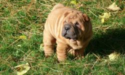 TOY SIZE MALE CHINESE SHAR-PEI PUPPY   CKC REGISTERED   READY NOV 18TH   HE WILL COME WITH 1ST SHOTS, DEWORMED, HEALTH CERTIFICATE, VET CHECKED, 6 WEEK HEALTH INSURANCE, MICRO-CHIPPED AND WRITTEN HEALTH GUARANTEE.   ALL PUPPIES AND PARENTS ARE RAISED