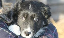 I have 5 border collie puppies for sale.  Mom and Dad are both border collie.  Mom is a tri colour and dad is traditionally coloured with a tri colour father.  These pups are well socialized with children, cats and we are working on them with horses.