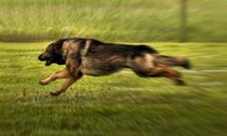 This Shep is awesome, V rated in protection, strong work ethics, ready for SSH 2 or protection work. would make great pet ,but needs to be worked. Need strong leadership, very sound in mind,Very obedient OFA certified excellent hips, very rare. Must sell