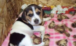 4 Tri-colored beagle puppies left from litter of 6. Born Nov20th, ready for new homes Jan15th. Raised in family setting, well socialized. Will have first shots and vet check. Both parents available for viewing. First pic is female (Dixie), 2nd is female