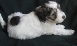 This is the only male puppy from Cash Southern's Litter.  Both Cash and Southern are dually CKC and AKC registered. This little cutie will mature to approximately 16 lbs., is non-shedding and hypo-allergenic. He will be available for joining your family