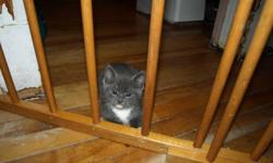 I am giving away two kittens. There are two gray and white medium hair males. They are litter trained and very friendly.
