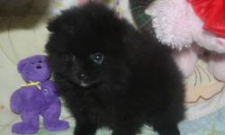 Ready for her new home little black pom female / vet checked/first vaccination , health guarantee / microchipped,good start on paper training,well socialized , mom is four half pounds dad is four/ if interested please email some details where she will