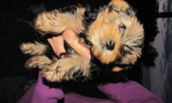 We have 2 cute and cuddly purbred yorkie puppies left to find their new homes.They are ready to go anytime.They have had their tails docked, dew claws removed, first set of shots, deworming and vet checked.Our little male Remi is 3lbs. He has what the vet