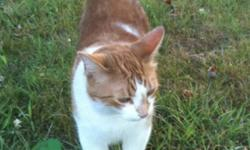 Petey is an orange and white short fur neutered cat. Nermal is a multi-coloured short fur spayed cat. They're both loving cats who are very shy until you get to know them. They're used to being outdoor cats but also have been strictly indoor cats for the