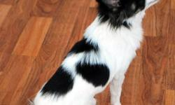 I am offering two long coat, intact male chihuahuas for sale to loving homes.  Both dogs would do better if he had another dog as company.   DEX dob March 22, 2011         black & white long coat, intact male         4 & 1/2 pounds         loves to be