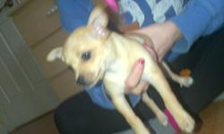 Chihuahua puppies 1 boy 1 girl born november 5 ready to go to a loving home They are very playful and healthy the dark one is a boy he is very sweet and the light one is a girl they have there first shoots please call 416 523 0006 if you are interested