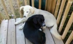 Courtesy Post - looking for a permanent loving home:  Black dog approximately a year old and a Cream Coloured Female Puppy approximately 6 months old.  Both are very friendly, love cuddling, get along with other animals in the house, playing, doing well