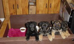 Two female German shepherd puppies, born on Nov 1. Eight+ weeks old and ready to go. Very cute. Trained for pee outside the house. Both parents can be seen. One of the pictures show 4 puppies, the left 2 are female ones which are still available while the
