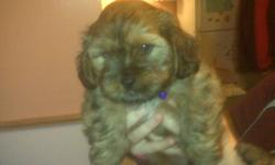 A friend of mine has 2 shih tzu/dachshunds mixed puppies for sale. Both are male and will have their first set of needles. Ready the end of October. Located in Antigonish. This ad was posted with the Kijiji Classifieds app.