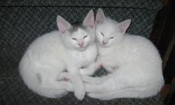 $40.00 each Very Healthy Litter trained Very affectionate Male -  Solid White Male  - White with Grey Patch