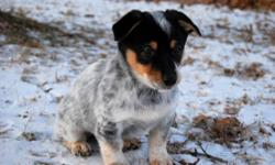 Pumpernickle is THE MOST unique puppy I have ever seen! Her mother was a Chihuahua/Jack Russell who was surrendered to our rescue when she got pregnant by her owner's other dog - a German Shepherd/Cattle Dog! The puppies were too big to be born naturally,