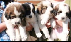 Imported from Croatia these are top bred dogs perfect for families and ranches. Puppies have been handled since birth and socialized to children. Great dogs, many adults avaiable for viewing. Can weigh up to 160 pounds. 3rd Picture Mother- Griva 4th