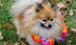 Want one of these adorable little Pomeranians? (first pictured is the daddy of the litter, he's sporting the flower lei--lol)) Available pups!: ~3 little females $1000 ~1 little male $800 ***note that we have a VERY tiny female ('Teacup') and she is