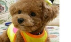 Needs to be a male toy poodle, no exceptions. Willing to buy for 500 more or less, we'll make a deal for reasonable price. It is going to be a family dog. Wanting a red or brown toy poodle but can make exceptions. This ad was posted with the Kijiji