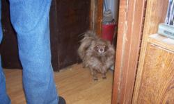 hi i have 2 2year old pom girls for sale i have to many their shots are good  and have been wormed 1 is black 1 is brown playful and good with other dogs pet homes only