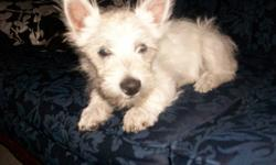 4 month old, we have only 1 female. Westies are hypo-allergenic and non-shedding our pup is home raised and gives you unconditional love. She is very friendly and easy going, house trained and loves to play with day care kids. She now has all her shots