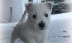 Looking for a unique Christmas Gift? We have just the thing! Adorable Westie puppies available the first week of December. Registration and first shots included.