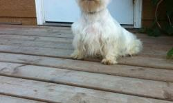 Ckc reg westy females 2 one yr old westy adults Never bred Not fixed $700 Also Ckc reg westy female 6 month old crate trained Leash trained All shots Obedient Well behaved and not barky $850 Comes on command even off leash This ad was posted with the
