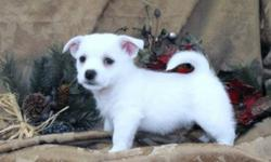 Striking, very intelligent, hardy, loyal and loving puppies!!  They are Shih Tzu x West Highland White Terrier's. These puppies have softer hair then the Westie but do have straight short hair just like their dad. We have one white male ($475) and two