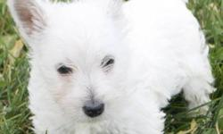 Wonderful West Highland White Terriers! Gorgeous Snow White, non-shedding coats A male & female are available Parents are 15 & 18 lbs so pups will stay small Come home with full vet health exam, vaccinations, dewormings & paper trained To arrange a