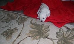 Westie Puppies, born on November 28, 2011 will be ready for thier new homes the end of January, after they have been vet checked and had thier  first shots and worming. Both parents on site, father is approximately 20lbs and the mother is about 15lbs.